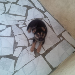 Dixie, chien Berger allemand