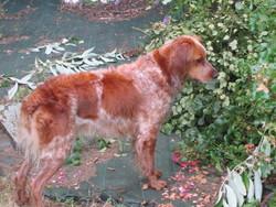Dixie, chien Épagneul breton