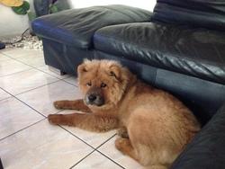 Dixie, chien Chow-Chow
