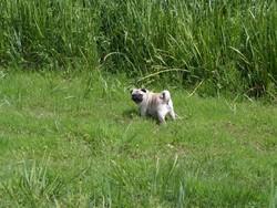Dixie, chien Carlin