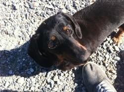 Dixie, chien Teckel