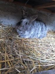 Dixie, rongeur Lapin