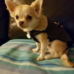 Dixie, chien Chihuahua