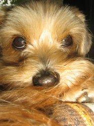 Dixie Poopoo, chien Bichon havanais