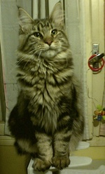 Dixie Wistariantale, chat Maine Coon