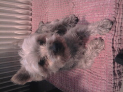 Dixis, chien Yorkshire Terrier