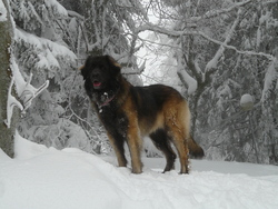 Dixy, chien Leonberger