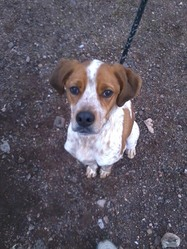 Dixy, chien Épagneul breton