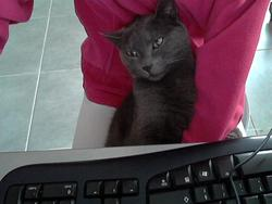 Dixy, chat Chartreux