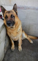 Dixy, chien Berger allemand