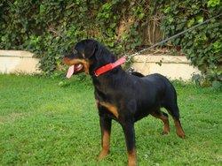 Dixy Blackrosest , chien Rottweiler