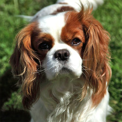 Dj,lucky, chien Cavalier King Charles Spaniel