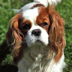 Dj,lucky, chien Cavalier King Charles Spaniel