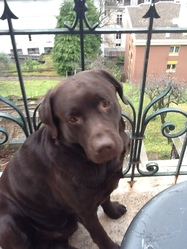 Djack, chien Labrador Retriever