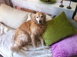 Djack, chien Golden Retriever