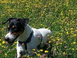 Djack, chien Parson Russell Terrier