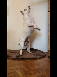 Djack, chien Jack Russell Terrier