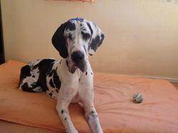 Djahia, chien Dogue allemand