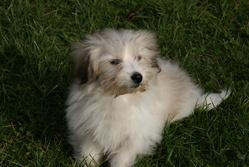 Djaila, chien Coton de Tuléar