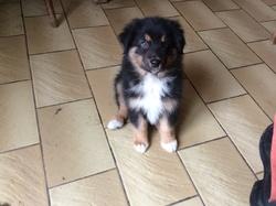 Djaizy, chien Berger australien