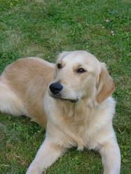 Djak, chien Golden Retriever