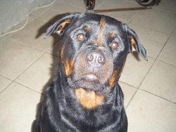Djama, chien Rottweiler