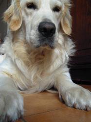 Django, chien Golden Retriever