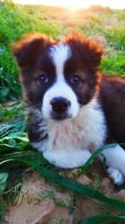 Django, chien Berger australien