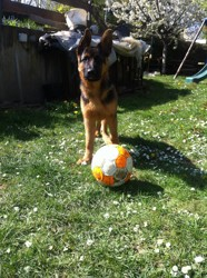 Django, chien Berger allemand