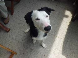 Django, chien Border Collie