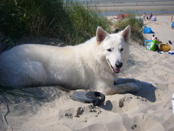 Django, chien Berger blanc suisse