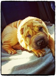 Django, chien Shar Pei