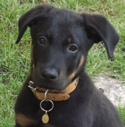 Django, chien Beauceron