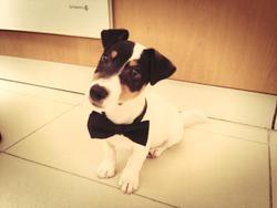 Django, chien Jack Russell Terrier