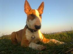 Django, chien Bull Terrier