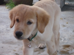 Django, chien Golden Retriever