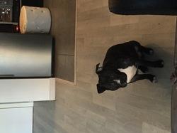 Django, chien Staffordshire Bull Terrier