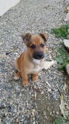 Djayen, chien Berger belge