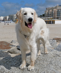 Djazz, chien Golden Retriever