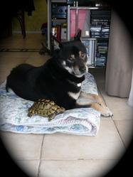 Djazz, chien Shiba Inu