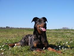 Djebel De La Foret Des Sablons, chien Beauceron