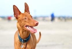 Djebel, chien Chien du pharaon