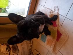 Djecko, chien Bouledogue français