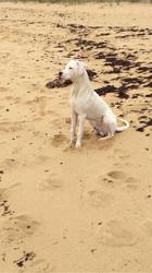 Djego, chien Dogue argentin