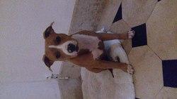Djenka, chien American Staffordshire Terrier
