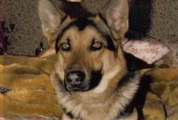 Djess Au Paradis, chien Berger allemand