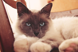 Djibril , chat Birman
