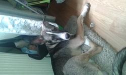 Djibsy, chien
