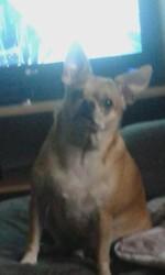 Djimy, chien Chihuahua