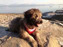 Djin, chien Berger des Pyrénées